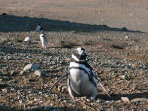 К пингвинам острова Магдалена: экскурсия-навигация