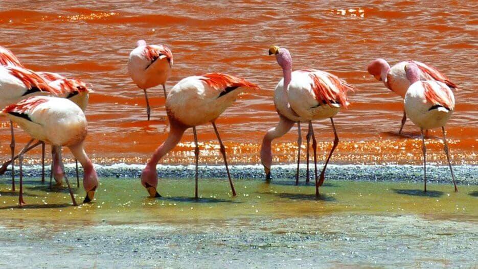 flamingo-bolivia