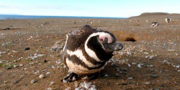 Пингвины о.Магдалена, Патагония